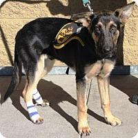 Adopt A Pet :: Tenor - Gilbert, AZ
