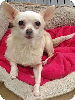 Chihuahua Mix Dog for adoption in Minneapolis, Minnesota - Midge