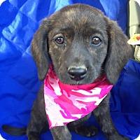Adopt A Pet :: India Adoption pending - Manchester, CT