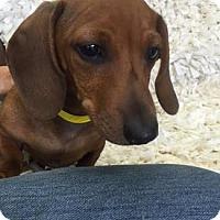 Adopt A Pet :: ROQUE - Pt. Richmond, CA