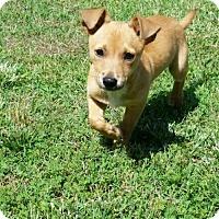 Adopt A Pet :: Maximus - Atlanta, GA