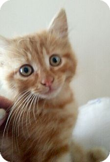 Maine Coon Kitten for adoption in Cerritos, California - Lucy