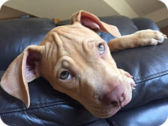 Pit Bull Terrier Puppy for adoption in Edina, Minnesota - Archer D160904: PENDING ADOPTION