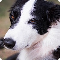 Border Collie Mix Dog for adoption in Austin, Texas - Patch