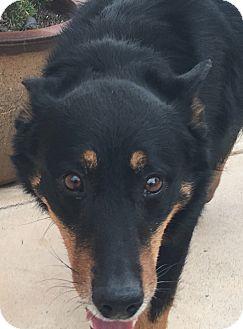 German Shepherd Dog/Rottweiler Mix Dog for adoption in calimesa, California - Roman