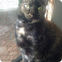 Adopt A Pet :: Callie - Port Richey, FL