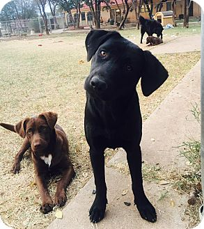Labrador Retriever Mix Dog for adoption in Snyder, Texas - Duncan