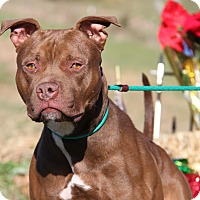 Pit Bull Terrier Mix Dog for adoption in Marietta, Ohio - Bo (Neutered)