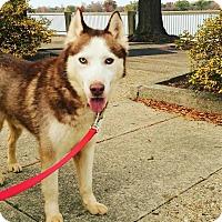 Adopt A Pet :: Boris - Washington, DC