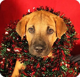 Black Mouth Cur/Chow Chow Mix Puppy for adoption in Quitman, Texas - SNEEZY
