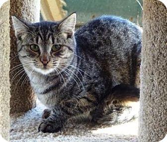Domestic Shorthair Cat for adoption in Lathrop, California - Megara