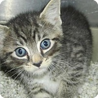Adopt A Pet :: Cat HT01 - Rocky Mount, NC