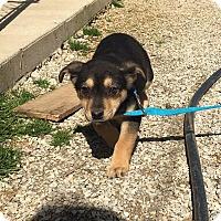 Adopt A Pet :: Shaley - Allentown, PA