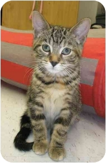 Domestic Shorthair Kitten for adoption in Windsor, Ontario - Willow