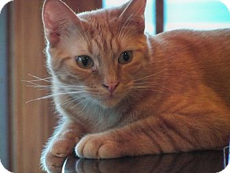 Domestic Shorthair Kitten for adoption in Secaucus, New Jersey - Roger