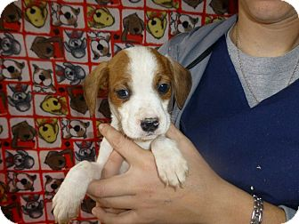 Beagle Mix Puppy for adoption in Oviedo, Florida - Eric