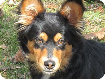 Sheltie, Shetland Sheepdog/Dachshund Mix Puppy for adoption in Brattleboro, Vermont - Candy