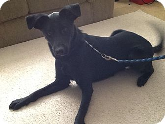 Labrador Retriever/Retriever (Unknown Type) Mix Dog for adoption in North Olmsted, Ohio - Coco-Courtesy Post