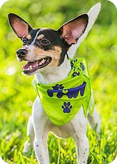Rat Terrier Mix Puppy for adoption in Jacksonville, Florida - Petey Linguini