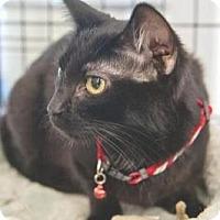 Domestic Shorthair Cat for adoption in Miami, Florida - Joshua