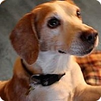 Adopt A Pet :: Harrison - Phoenix, AZ