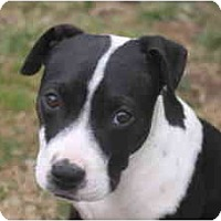 Adopt A Pet :: Corie - Albany, NY