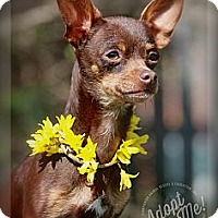 Adopt A Pet :: Chica - Albany, NY