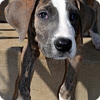 Adopt A Pet :: Gauge-Adoption pending - Bridgeton, MO