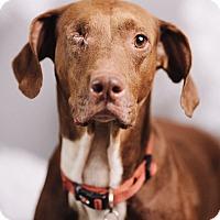 Adopt A Pet :: Lulu - Portland, OR