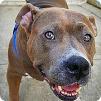Adopt A Pet :: Mamma Mia! 'Staffie' with a big heart - Brooklyn, NY