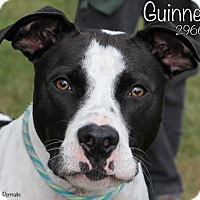 Adopt A Pet :: Guinness - Troy, MI