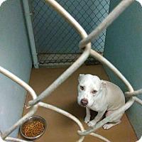 Adopt A Pet :: Storm - Lauderhill, FL