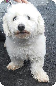 Bichon Frise Dog for adoption in Winchester, Virginia - Snowy