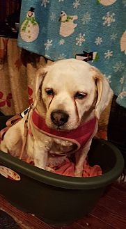 Beagle/Labrador Retriever Mix Dog for adoption in Norfolk, Virginia - Lola