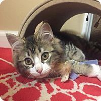 Adopt A Pet :: Jitterbug - CH kitten - Cincinnati, OH