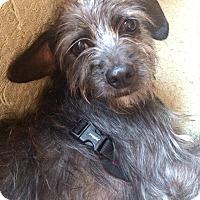 Adopt A Pet :: Melia-ADOPTION PENDING - Boulder, CO