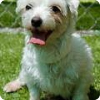 Maltese Dog for adoption in Memphis, Tennessee - Jolene (bonded with Barbie)