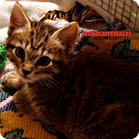Domestic Shorthair Kitten for adoption in Alamo, California - Norman