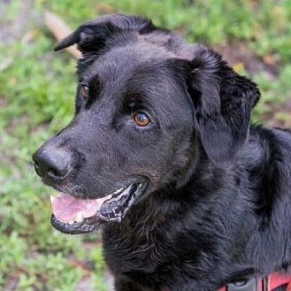 Labrador Retriever Mix Dog for adoption in Loxahatchee, Florida - Stubby