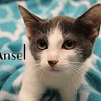 Domestic Shorthair Kitten for adoption in Wichita Falls, Texas - Ansel