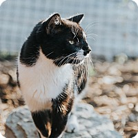 Domestic Shorthair Cat for adoption in Indianapolis, Indiana - Emersyn