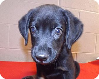 Australian Cattle Dog Mix Puppy for adoption in Oxford, Mississippi - Tank