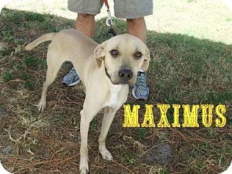 Black Mouth Cur Mix Dog for adoption in Sarasota, Florida - Maximus
