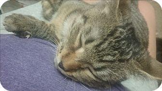 Domestic Shorthair Kitten for adoption in wyoming valley, Pennsylvania - Ernie