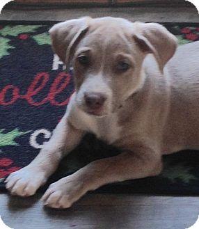 Labrador Retriever/Australian Shepherd Mix Puppy for adoption in Long Island, New York - Ridge