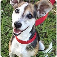 Adopt A Pet :: Daisey - Key Largo, FL