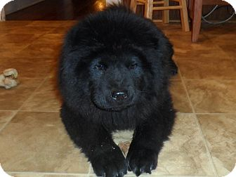 Chow Chow Dog for adoption in Wytheville, Virginia - Wizz the Wonderdog