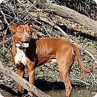 Adopt A Pet :: Copper - Flower Mound, TX