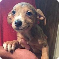 Adopt A Pet :: Robin - Dumfries, VA