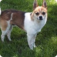 Pomeranian/Chihuahua Mix Dog for adoption in Tonawanda, New York - Simon